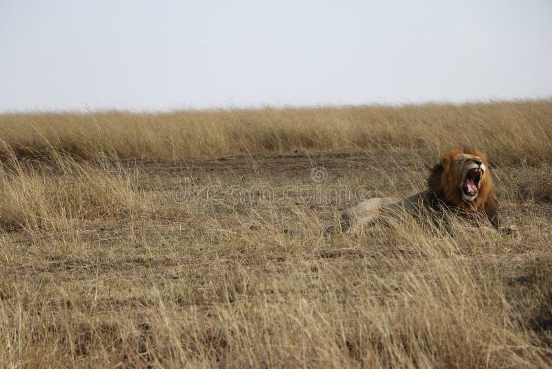 Lion masculin hurlant dans le maasai Mara photographie stock libre de droits