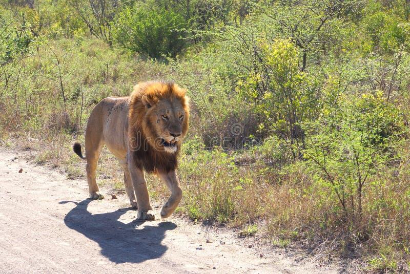 Lion masculin marchant sur la route photographie stock