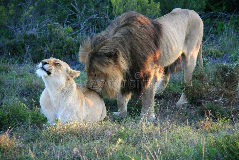 Lion masculin se tenant derrière et léchant la femelle se trouvant sur l'herbe en Afrique du Sud photo libre de droits