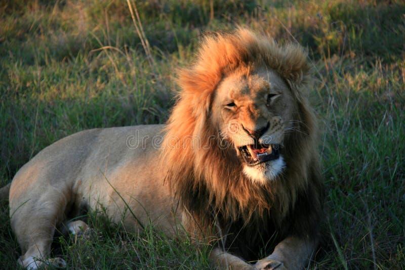 Lion masculin se trouvant sur l'herbe avec les dents de indication partiellement ouvertes de bouche image stock