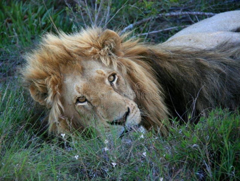 Lion masculin se trouvant sur l'herbe regardant la cam?ra photographie stock libre de droits