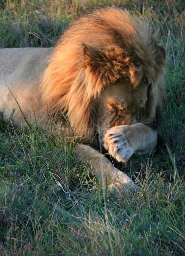 Lion masculin se trouvant sur l'herbe verte rayant le nez avec la patte avant en Afrique du Sud image libre de droits