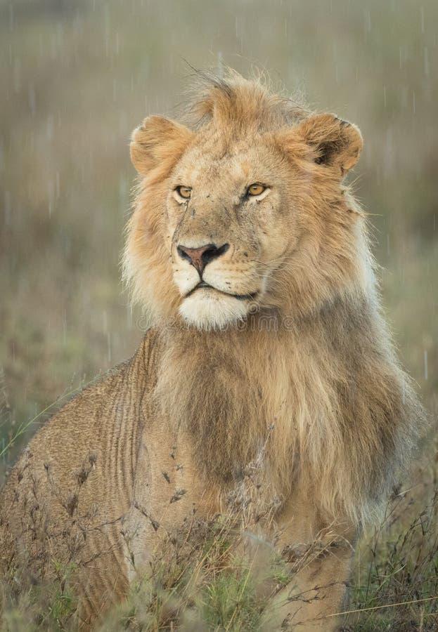 Lion masculin sous la pluie, Tanzanie image stock