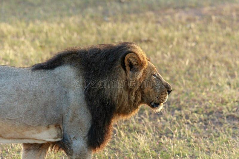 Lion masculin sur le vagabondage dans le sauvage image libre de droits