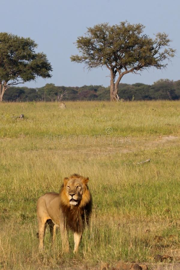 Lion masculin, Zimbabwe, parc national de Hwange photo stock