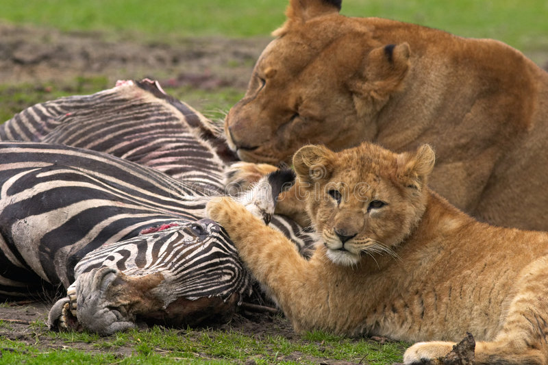 Lion meal royalty free stock image