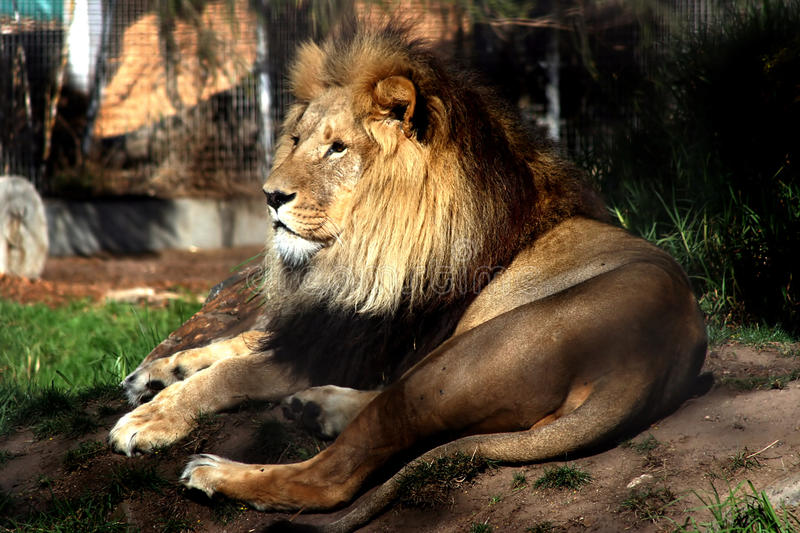 Download A Lion in Melbourne Zoo. stock image. Image of nature - 10574029