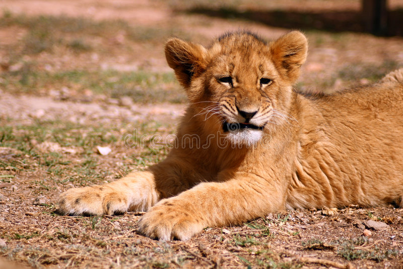 lion mignon d'animal images libres de droits