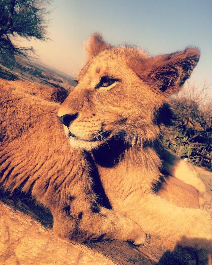 lion mignon d'animal photos libres de droits
