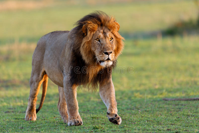 Lion Mohican de passeio no Masai Mara fotos de stock royalty free