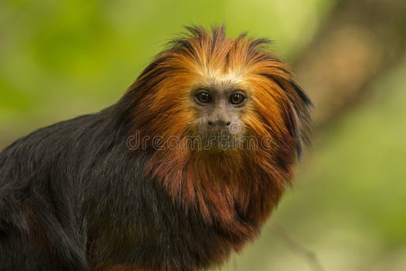 Lion Monkey royaltyfria bilder