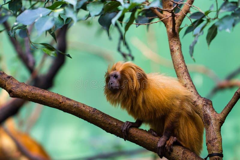 Lion Monkey royalty-vrije stock afbeelding