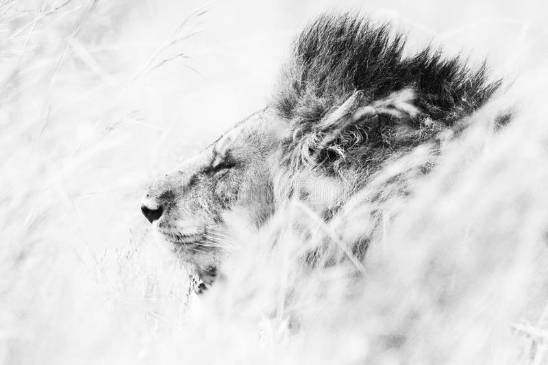 Lion on the Move. Black and White Wildlife Art Photography of a Lion on the move trough the high grass of the Masai Mara royalty free stock images