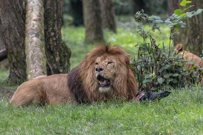 Lion, a muscular, deep-chested male cat with a short, rounded head, a reduced neck and round ears, and a hairy tuft at the end of stock photo