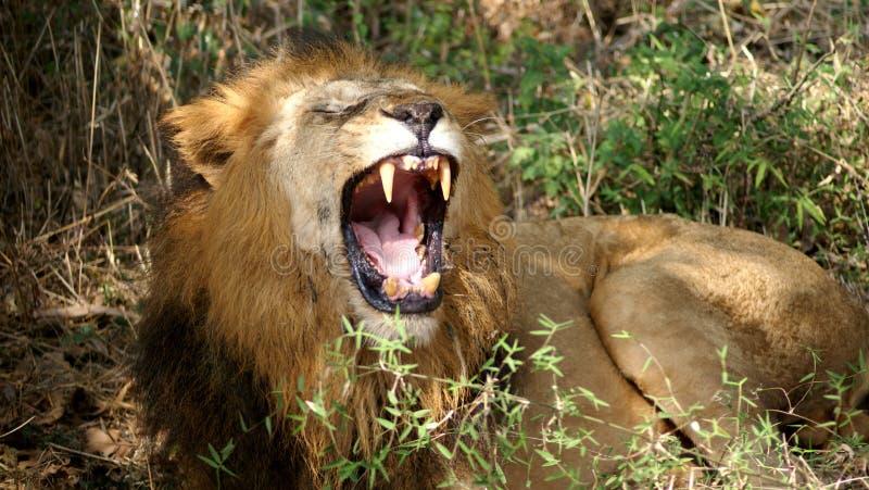 lion mycket arkivbild
