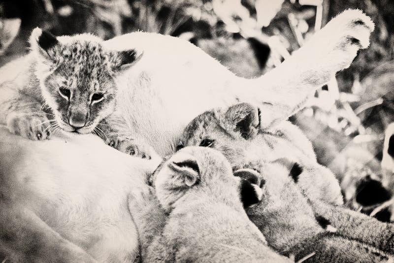 Lion-Naben saugen ihre Mutter lizenzfreies stockfoto