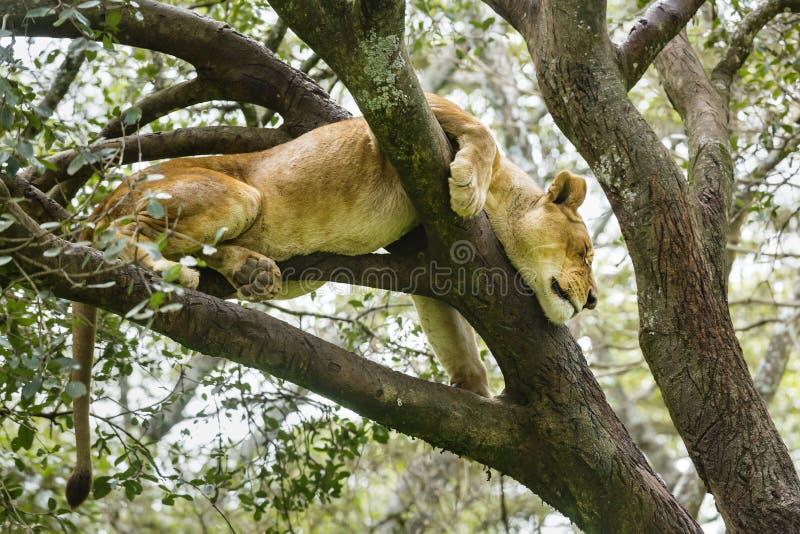 Download Lion In Nairobi National Park, Kenya Stock Photo - Image: 83700701