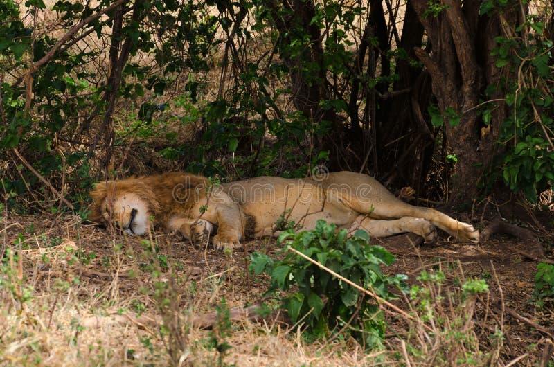 Lion Napping Ngorongoro krater arkivfoton