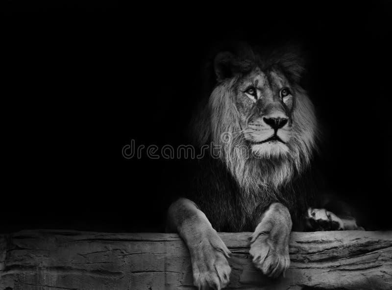 Lion noir et blanc d'affiche photo stock