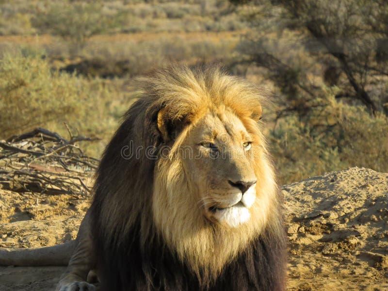 lion Noir-maned de l'Afrique du Sud image libre de droits