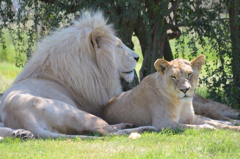Lion och lioness royaltyfri bild