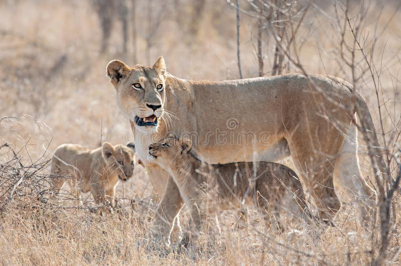 Lioness with cubs. The lion is one of the big cats in the genus panthera and a member of the family felidae. Lioness with cubs in they natural habitat stock images