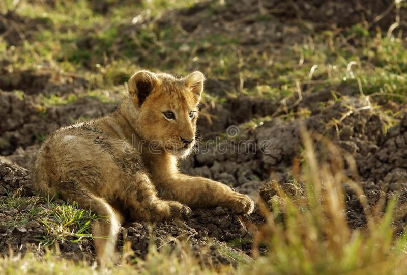 Lion cub resting. Lion is one of the four big cats and belongs to genus Panthera royalty free stock photo