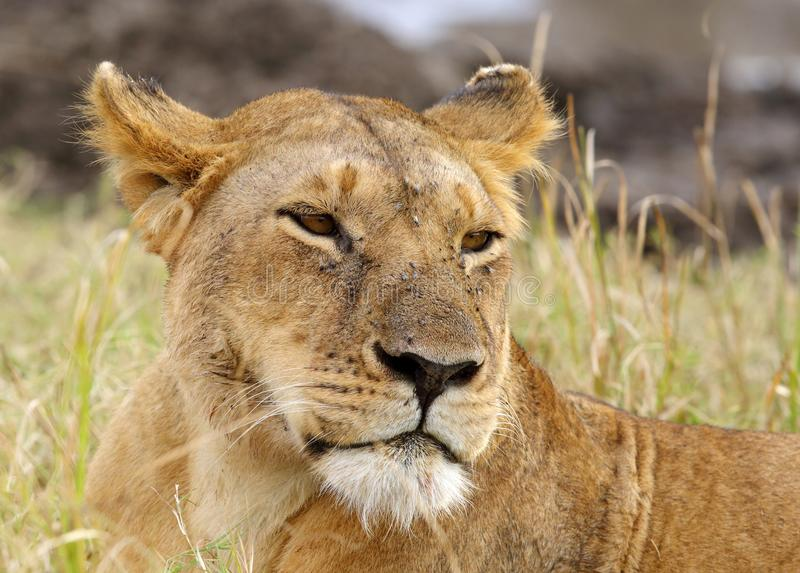 Portrait of lioness. Lion is one of the four big cats and belongs to genus Panthera stock photography