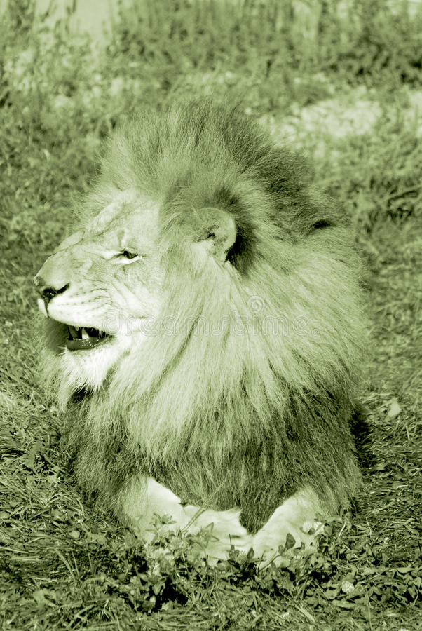 The lion. Is one of the four big cats in the genus Panthera, and a member of the family Felidae. With some males exceeding 250 kg (550 lb) in weight, it is the royalty free stock photos