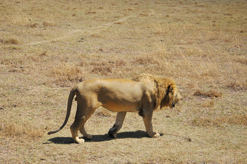 The lion. Is one of the four big cats in the genus Panthera, and a member of the family Felidae. With some males exceeding 250 kg (550 lb) in weight, it is the stock photo