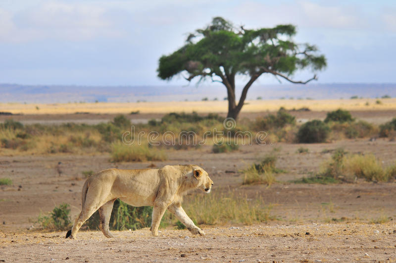 The lion. Is one of the four big cats in the genus Panthera, and a member of the family Felidae. With some males exceeding 250 kg (550 lb) in weight, it is the royalty free stock images
