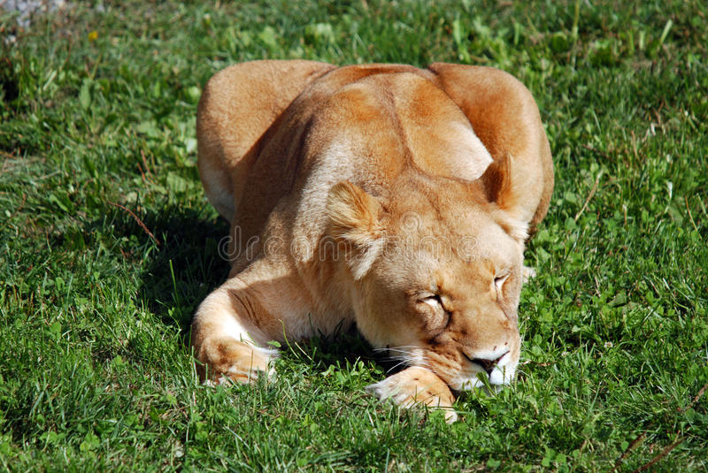 The lion. Is one of the four big cats in the genus Panthera, and a member of the family Felidae. With some males exceeding 250 kg (550 lb) in weight, it is the royalty free stock photo