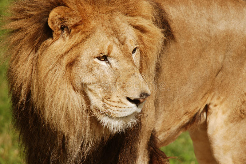 The lion. Is one of the four big cats in the genus Panthera, and a member of the family Felidae. With some males exceeding 250 kg (550 lb) in weight, it is the stock photos