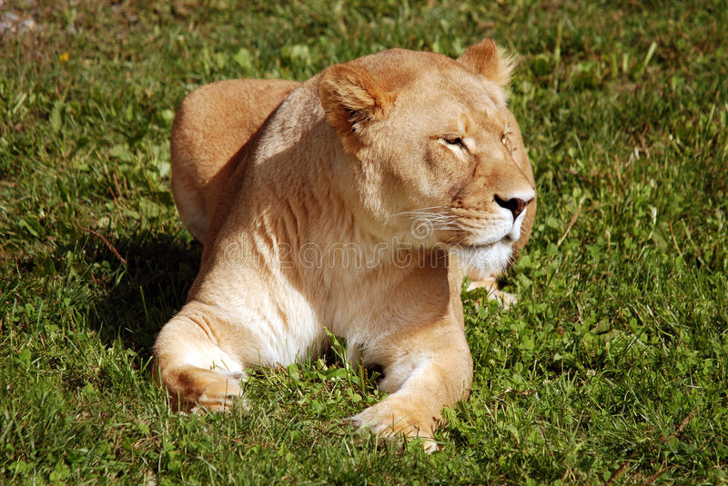 The lion. Is one of the four big cats in the genus Panthera, and a member of the family Felidae. With some males exceeding 250 kg (550 lb) in weight, it is the stock image
