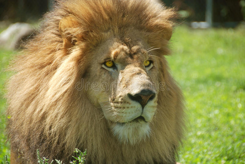 The lion. Is one of the four big cats in the genus Panthera, and a member of the family Felidae. With some males exceeding 250 kg (550 lb) in weight, it is the royalty free stock image