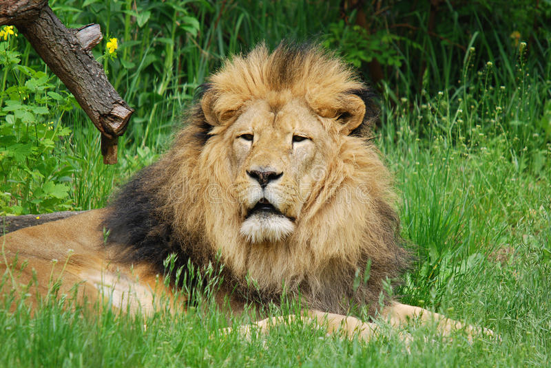 The lion. Is one of the four big cats in the genus Panthera, and a member of the family Felidae. With some males exceeding 250 kg (550 lb) in weight, it is the stock photography