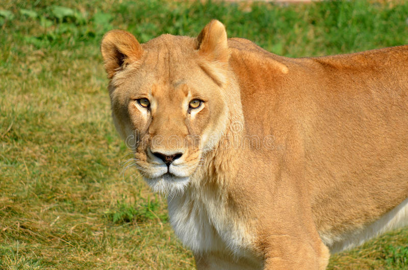 The lion. Is one of the four big cats in the genus Panthera, and a member of the family Felidae. With some males exceeding 250 kg (550 lb) in weight, it is the royalty free stock photography