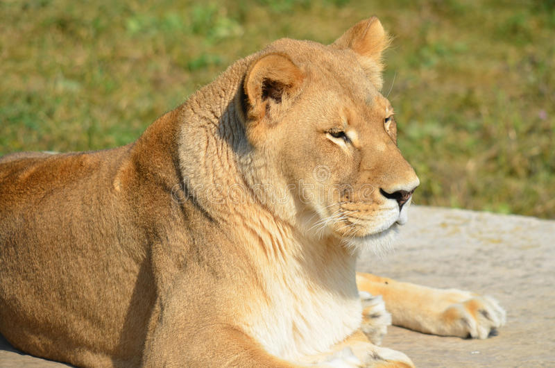 The lion. Is one of the four big cats in the genus Panthera, and a member of the family Felidae. With some males exceeding 250 kg (550 lb) in weight, it is the stock images
