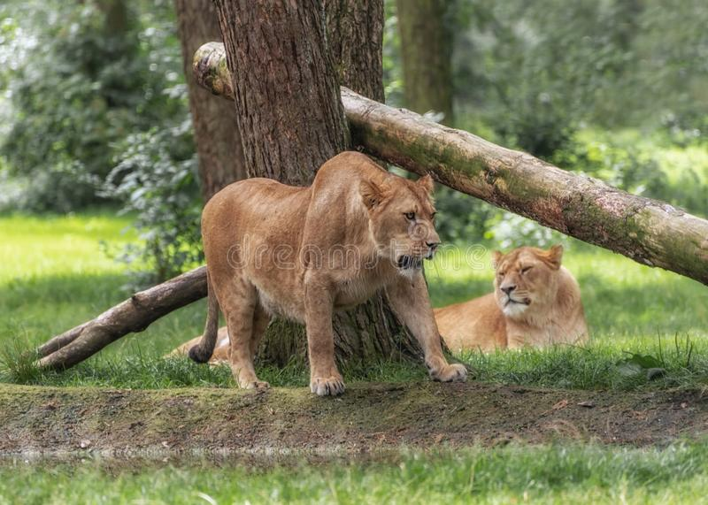Lion pack. Portrait of lionesses in safari park royalty free stock images