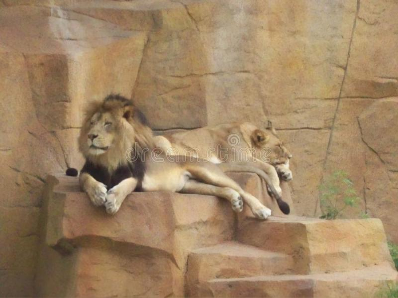 Lion Pair Relaxing on a Gorgeous Summer Day royalty free stock image