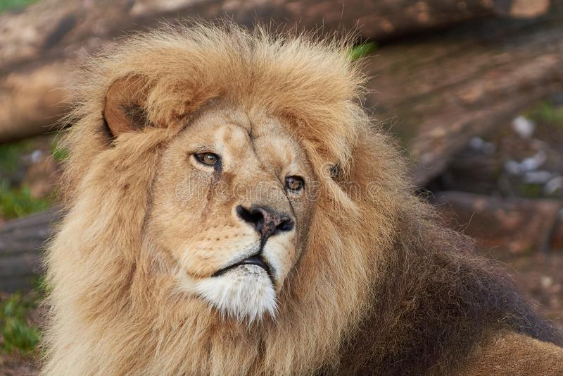 Lion Panthera-leo stock afbeeldingen