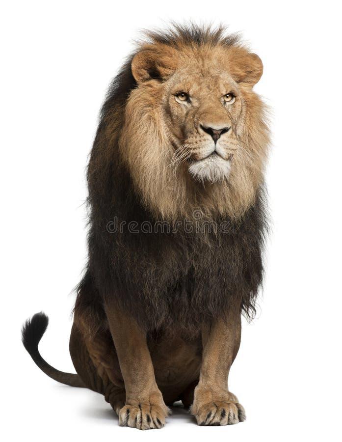 Lion, Panthera leo, 8 years old, sitting stock photos