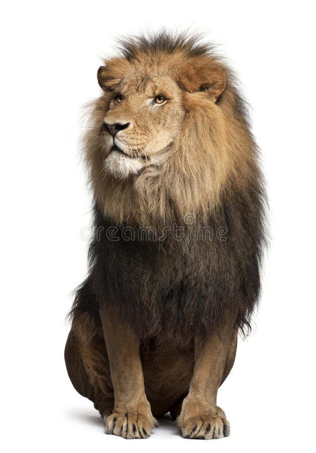 Lion, Panthera Leo, 8 Years Old, Sitting Royalty Free Stock Photos