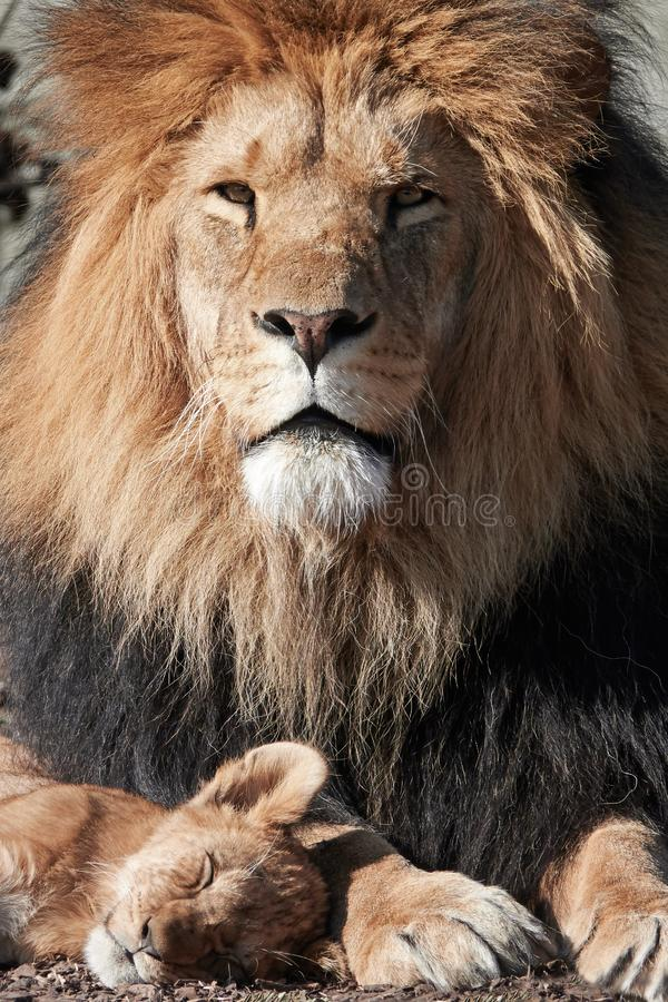 Lion Panthera-leo royalty-vrije stock afbeeldingen