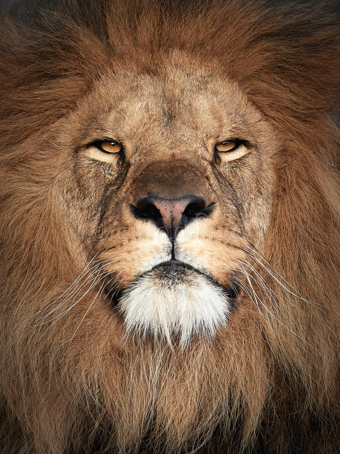 Lion (Panthera leo). Closeup portrait of a beautiful male Lion