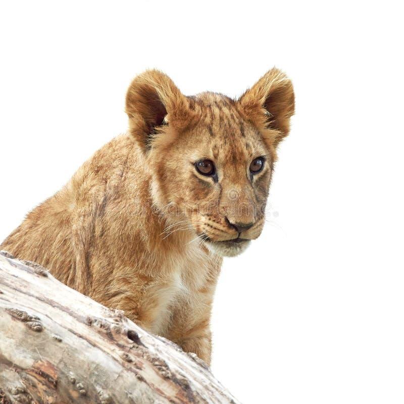 Lion (Panthera leo) royalty free stock photography