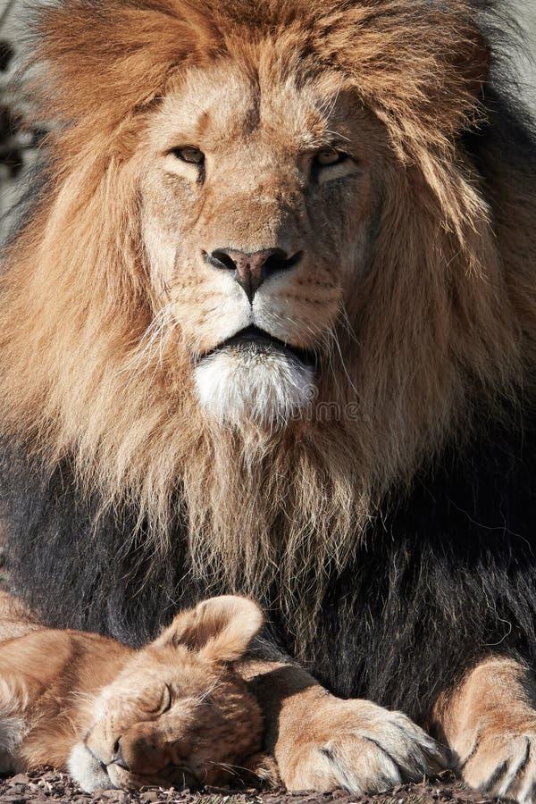 Lion Panthera leo royaltyfria bilder