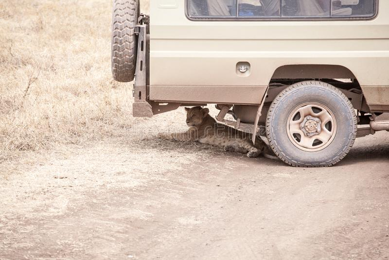 Lion Panthera Leo cub is lying under safari jeep stock photo