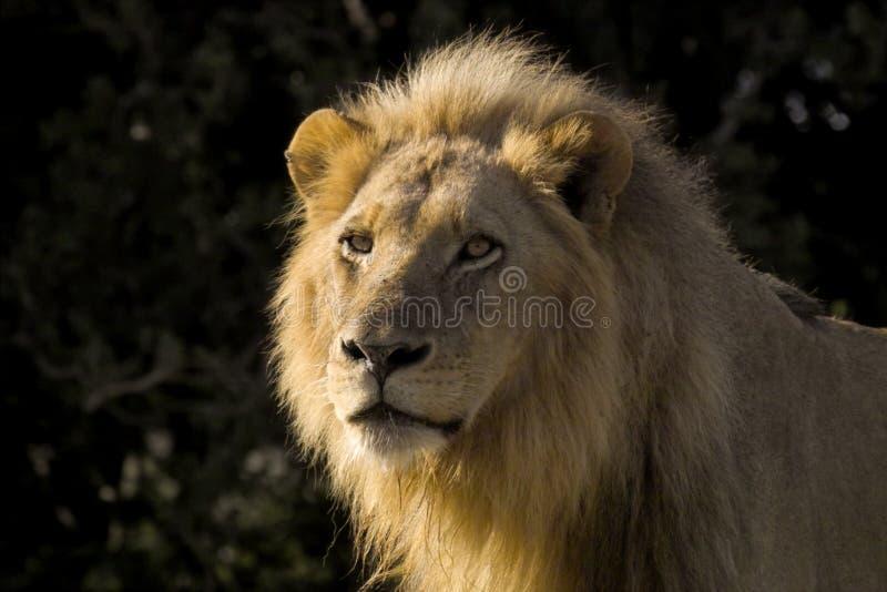 Lion (Panthera leo). Glaring in Kruger National Park, South Africa stock photos