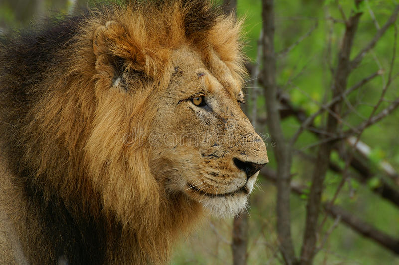 Lion (Panthera leo). In Kruger National Park, South Africa stock photography